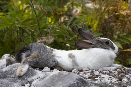Rabbit Shoq