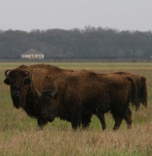 American bisons
