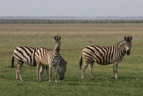 Zebras were the first animals that we saw in the steppe.