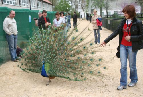Peacocks outside the cages