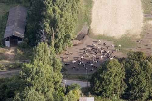 Крохотные коровы
