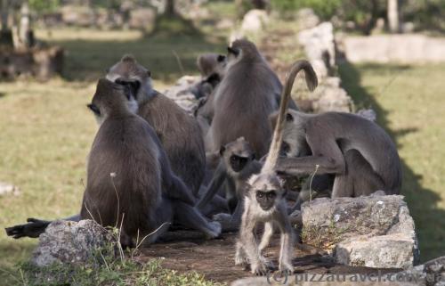 Monkeys around the Jetavana stupa