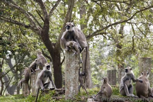 Monkeys on the way to the Bo tree