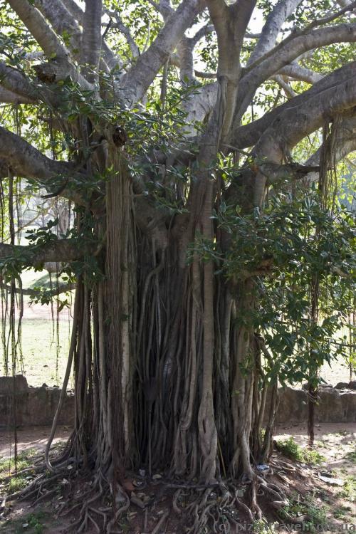 Interesting tree near the Jetavana stupa