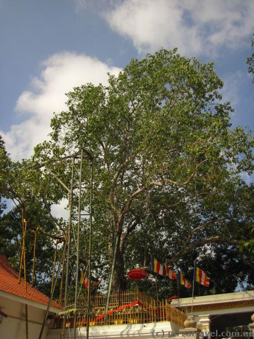 Дерево Бо в Анурадхапуре