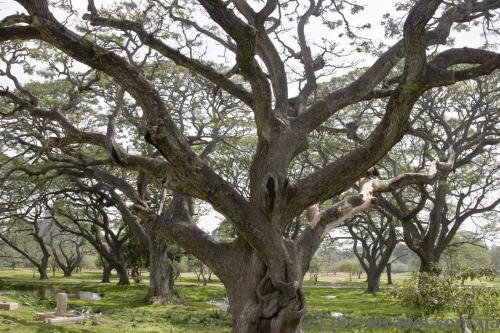 Интересные деревья в Анурадхапуре