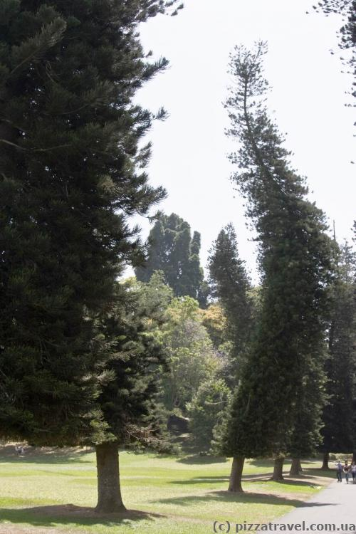 Пьяные деревья (сосны Кука)