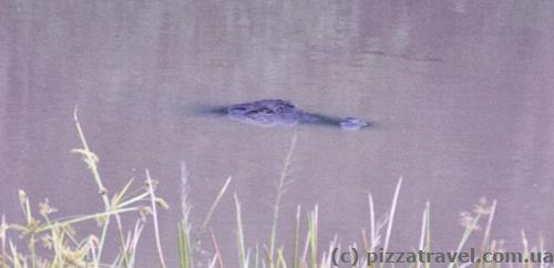 Найдите крокодила