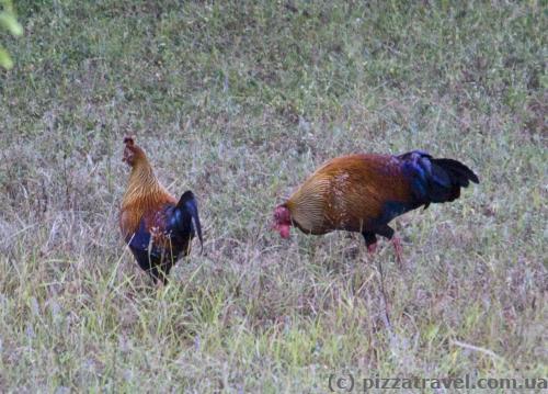 Цейлонская джунглевая курица - национальная птица Шри-Ланки