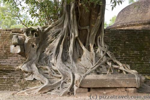 Interesting tree in Polonnaruwa