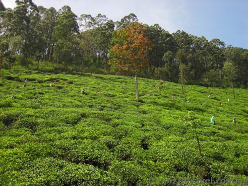Вид на чайные плантации из поезда