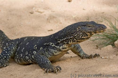 Water monitor in Sri Lanka