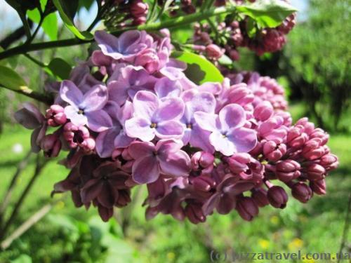 Lilac in Syrets Arboretum