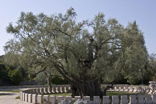 One of the oldest olive trees in the world (more than 2,000 years old)