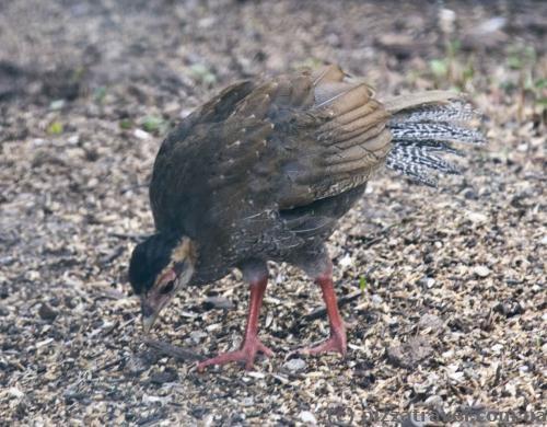Маленький фазан