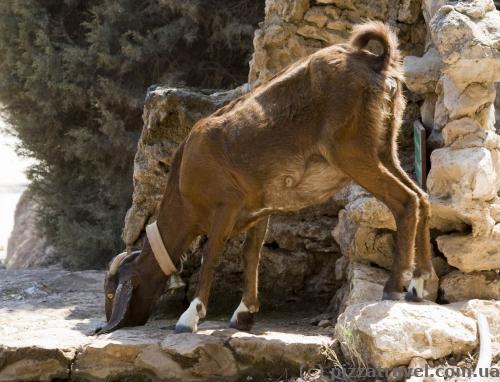 Козы и другие животные приходят пить воду к немногочисленным источникам.