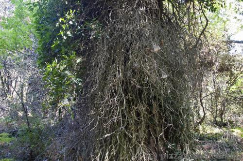 Величезна паразитна рослина на дереві