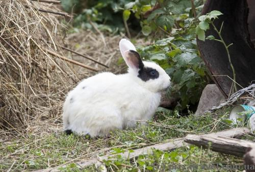 Кролик там же