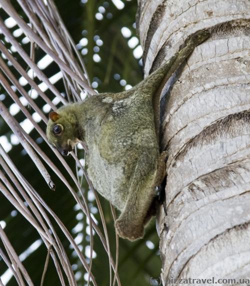 Белка-летяга на островах Перхентиан
