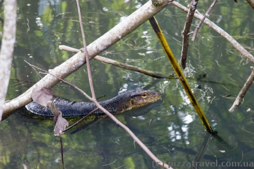 Water monitor lizard on the Perhentian Islands