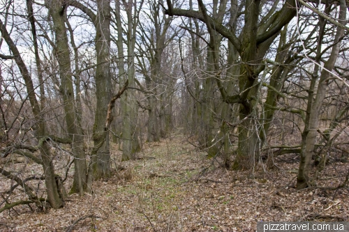 Заброшенная липовая аллея около бывшей усадьбы Садовых