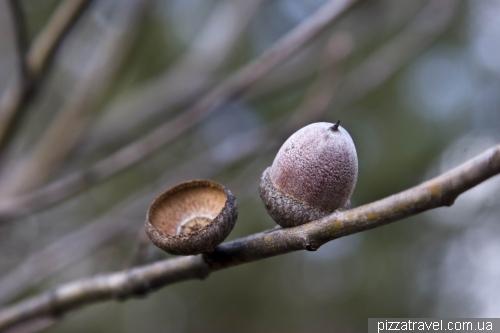 Интересно растущие жолуди