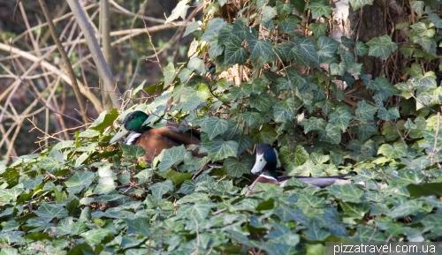 Утки прячутся в листве.