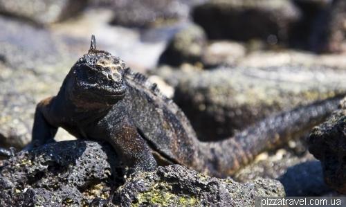 Marine iguana on the Chinese Hat island