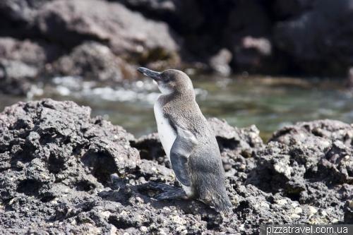Галапагосский пингвин на острове Мариэла