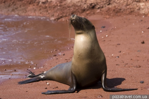 Sea lion on a red sand