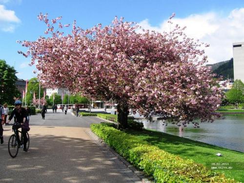 Sakura blossom in Uzhgorod