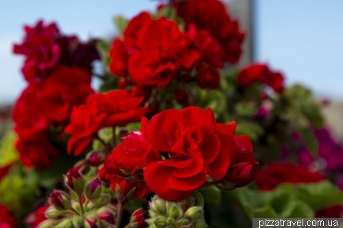 Maltese flowers
