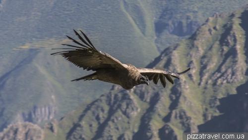 Condors in Colca Canyon
