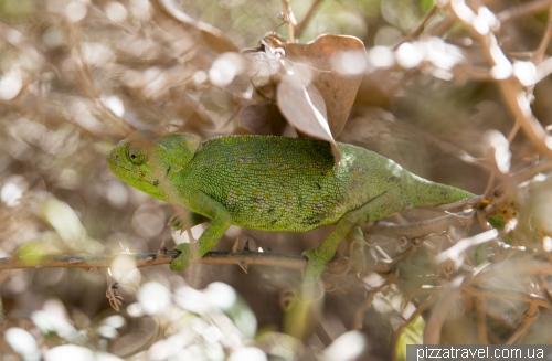 Portuguese chameleon