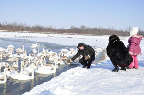 Swans in Chortoriya