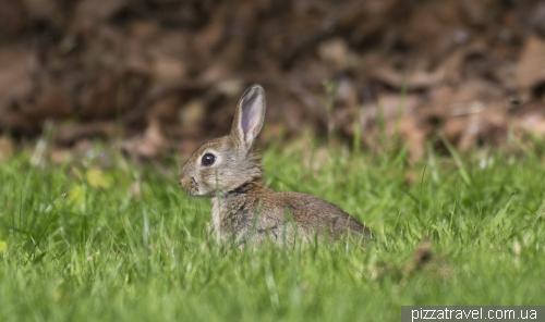 Кролик в Германии