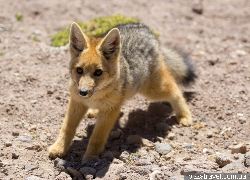 Little Fox in the Atacama Desert