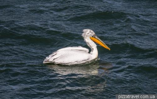 На озері Орестіада живуть пелікани