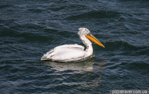 На озере Орестиада живут пеликаны