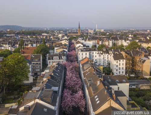 Цветение сакуры в Бонне