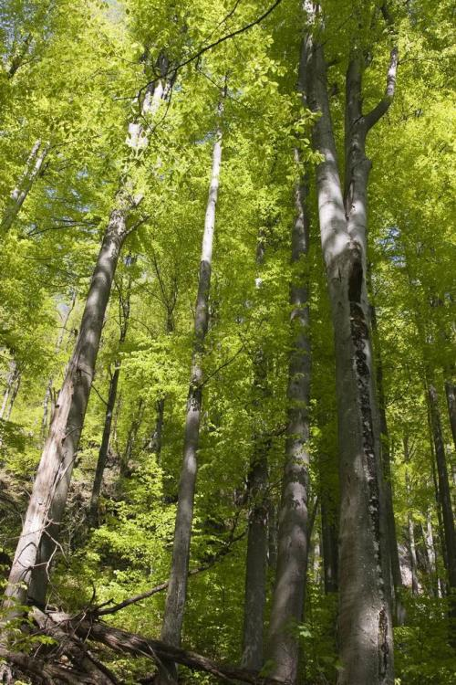 Virgin beech forest