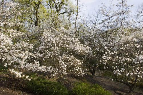 Магнолии в ботаническом саду имени Фомина