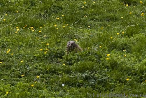 Альпійський бабак на схилі гори Небельхорн