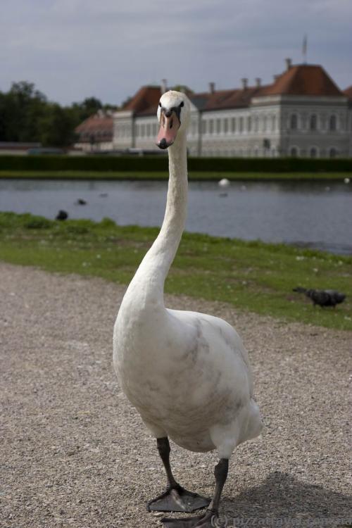 Лебеді біля палацу Німфенбург