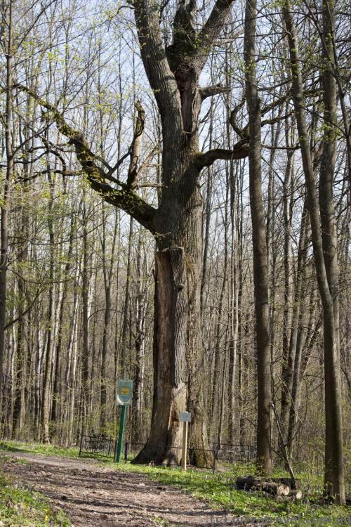 800-річний дуб у Мезинському національному природному парку