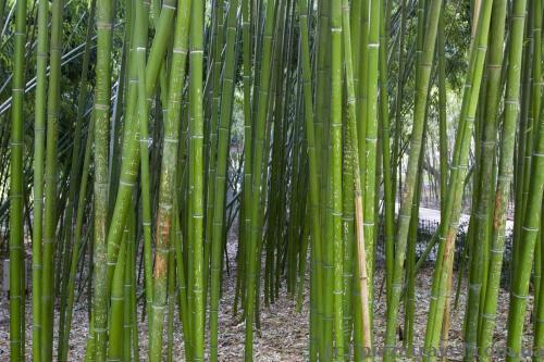Бамбук в Никитском ботаническом саду