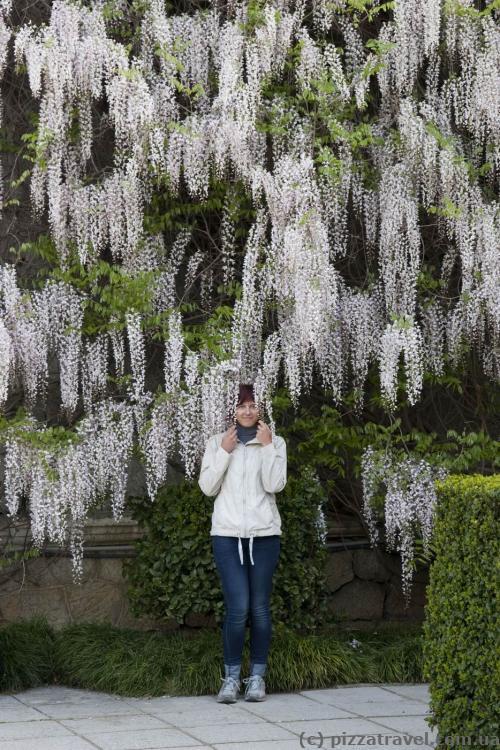 Глициния в Никитском ботаническом саду