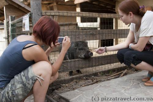 Funny hog in the Ukrainian Village