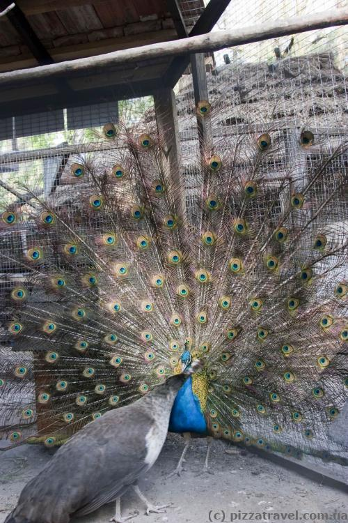 Peacock lures the female.